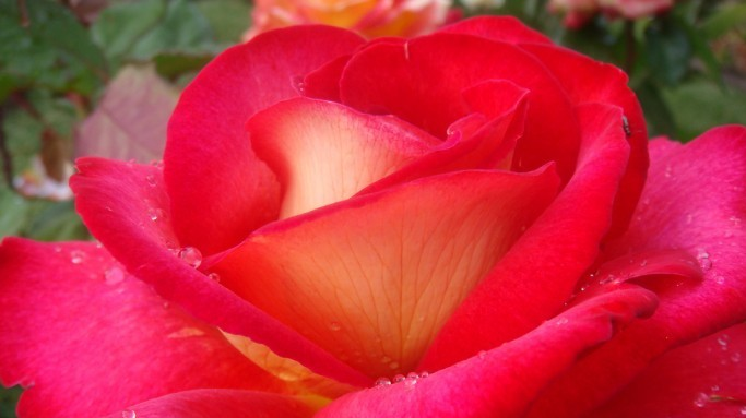 Una rosa del jardín para Joaquín...