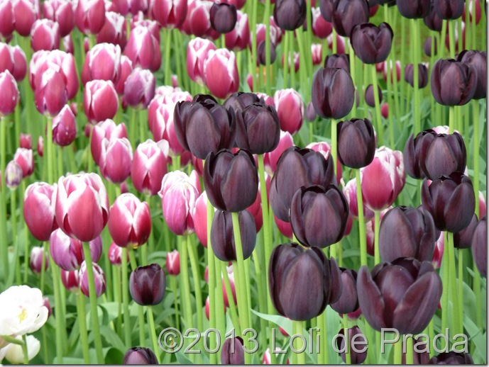 tulipanesmorados